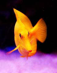 Yellow Tang Fish (janruss) Tags: fish vivid defenders tang roygbiv bej top20fish top20fishaquarium anawesomeshot colorphotoaward flickrenvy goldenphotographer top20yellow excellentphotographerawards brillianteyejewel colourartaward vividmasters colourartawards thebestvivid top30winners top30vivid janruss janinerussell