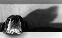 chanhi (saikiishiki) Tags: blue shadow portrait dog white black love film k analog darkroom nose grey asahi pentax k1000 gray weimaraner analogue  1000  weim greyghost bwfilm  squidoo blueweimaraner weimie chanhi weimaranerart  bwphotogragh handdevelopedfilm handdevelopedbwprint handdevelopedbwphotograph handdevelopednegative waimarana blueweim weimaranerartist weimaranerphotography weimaranerphotographer saikiishiki