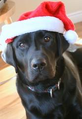 Christmas (Santa Dog)