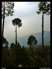 Muree Trees (M.Omair) Tags: trees pakistan omair murree greenry aplusphoto pakistanbeauty virgomair pakbeauty pakistantrees pakitrees mureetrees