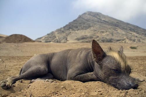 Peruvian Hairless Dog Nap Taking Erythromycin With
