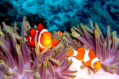Clownfishes at East of Eden, Thailand