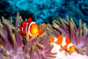Clownfishes at East of Eden, Thailand (_takau99) Tags: ocean trip travel sea vacation holiday fish macro uw nature topf25 water topv111 topv2222 thailand lumix islands topf50 topv555 marine topf75 asia southeastasia underwater topv1111 topv999 indianocean dive january scuba diving eastofeden panasonic explore topv5555 clownfish anemone thai tropical scubadiving topv777 phuket topv9999 topv11111 topf150 2008 topv3333 topv4444 topf100 topf10 thewall anemonefish similan seaanemone andaman andamansea topv888 topv8888 topv6666 topv7777 damselfish similanislands topf5 topf20 amphiprionocellaris ocellaris fx30 amphiprion clownanemonefish similanisland takau99 explore100 edive dmcfx30 similan7