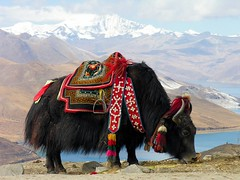 Tibet-5812 - Yak at Yundrok Yumtso Lake (archer10 (Dennis)) Tags: china travel yak lake holiday photo nikon asia published tour buddha buddhist free vivid tibet loveit dennis archer iamcanadian blueribbonwinner yumtso lifeasiseeit cotcmostfavorited 5photosaday flickrsbest worldtravels platinumphoto megashot onlythebestare colourartaward dennisjarvis excapture theperfectphotographer goldwildlife simplysuperb thebestofday fdream gnneniyisi spiritofphotography yundrok peachofashot archer10 dennisgjarvis
