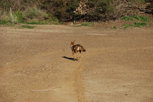 Griffith Park Fox