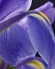 "Iris 11, CO (sethgoldstein72) Tags: aclass floralia flowerscolors agrade flowersflowersflowers macromania shieldofexcellencegroup bforbeauty flowersarebeautiful awesomeflowers macroflowerlovers crazyaboutnature arealgem exquisiteflowers qualitypixels floresporlapaz auniverseofflowers ""nikonflickraward"" flickrflorescloseupmacros ohnonotanotherflower allkindsofmacroscloseups creativeyeuniverse greatshotss flowersspontaneous unforgettableflowers lizasenchantingphotogarden handselectedphotographs coloursofflowers animalflowerscloseups thebestofunforgettableflowers flickrshutterspace mycolorfulflowers thebestofweloveallflowers excellentmacroflowers aardvarksandartichokes ○○○❤j'aideuxamours…❤○○○ floraaroundtheworld absolutelybeautyabsolutamentebello flowersgloriousflowers ★☆★wow★☆★ ○○○umolhovêooutrosente◘oneeyeseestheotherfeels○○○"