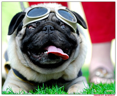 Watch out!! Pug on the loose!! (AL-SHAIJY) Tags: show dog animal nikon pug embassy british annual kuwait nikkor  society hamad f28 vr kuwaiti q8 welfare 70200mm protecting  dogy  kvw   kuwaitpictures kuwaitwildlife   kuwaitiphotographer kuwaitphoto kuwaitphotos  kuwaitpic kuwaitpictrue kvwc  kuwaitvoluntaryworkcenter kuwaitvwc alshaijy