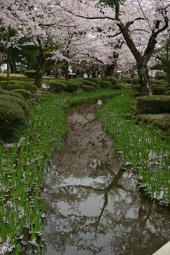 Cherry blossom lined stream