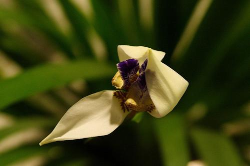 開花瞬間之一瓣開