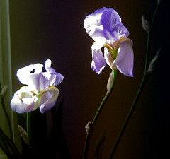 Iris Barbata Germanica (LucaRam (contattami su ipernity)) Tags: iris flower macro fiori giaggiolo flowersandcolors lucaramacciotti lucaram irisorecchiedilepre irisselvatiche barbatagermanica