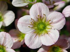 uit den tuin (roberke) Tags: flower nature garden natuur tuin bloem flowerscolors flowerwatcher qualitypixels