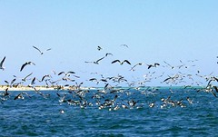 Taking the Bait (Cminik) Tags: ocean sea seagulls florida