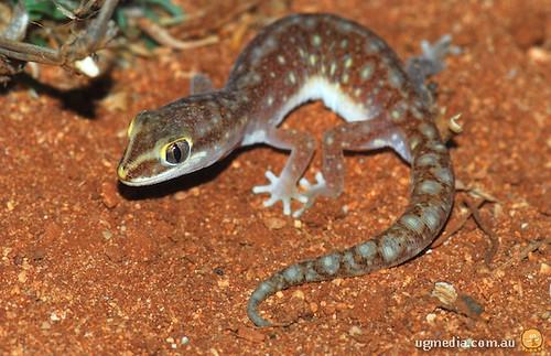 Sandplain gecko (Lucasium stenodactylum)