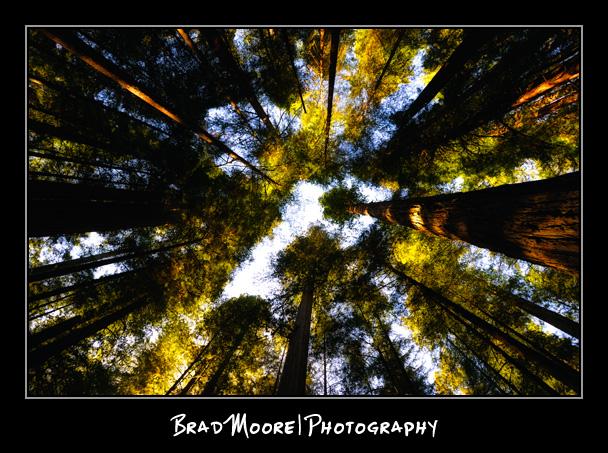 Redwoods_Canopy