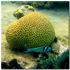 BRAIN CORAL - CORAL CEREBRO (maytevidri (out) MDZ) Tags: travel viaje blue sea fish motion pez texture textura animal animals coral azul fauna square island mar moving agua bravo paradise pattern underwater action peces dive diving brain movimiento snorkeling textures squareformat animales panama esponja reef fishes isla paraiso sanblas texturas patron cerebro kuna archipelago buceo caribe arrecife caribean mayte braincoral whater cuadrado accin pecio buceando subaquatic archipielago firstquality kunayala submarina cuadrada fotosubacuatica vidri subacuatica subacuatico maytevidri islaperro formatocuadrado coralcerebro diplorialabyrinthiformis 20080427268 subaquaticshot carcasasubacutica subaquaticcase