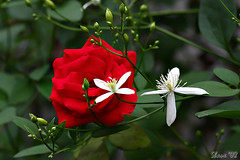 Rose Plus 2 (Shane_A) Tags: red flower rose redrose excellence flowerotica mywinners flowersgroup goldstaraward natureselegantshots wonderfulworldofflowers awesomeblossoms