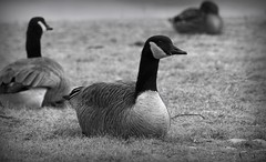 Resting Goose (imageClear) Tags: goose geese canadagoose resting winter february lakeshore sheboygan wisconsin aperture nikon d500 80400mm flickr imageclear photostream nature grass wildlife