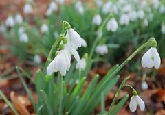 Kent Winter Walks (Adam Swaine) Tags: snowdrops flora flowers petals naturelovers nature churchyard church england english britain british swaine canon ukcounties countryside seasons