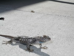 Desert Lizard on Concrete