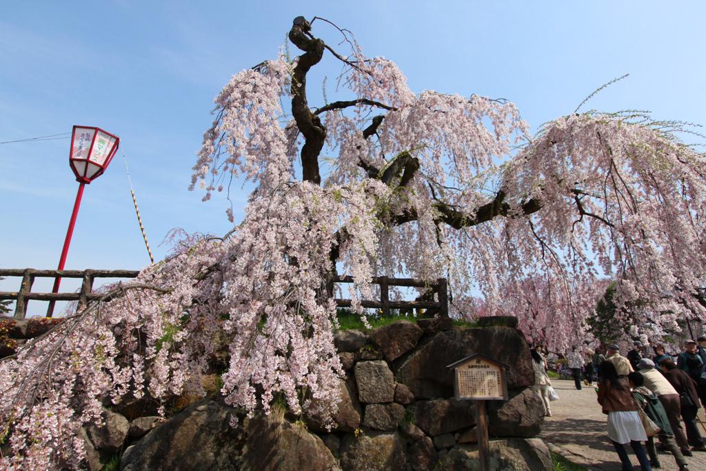 Hirosaki Park Sakura (16)