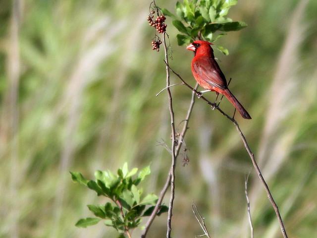 Northern Cardinal 20110529