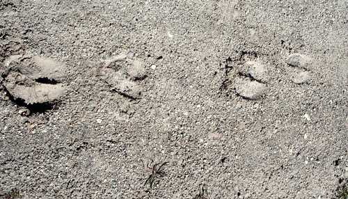 bighorn sheep tracks yellowstone