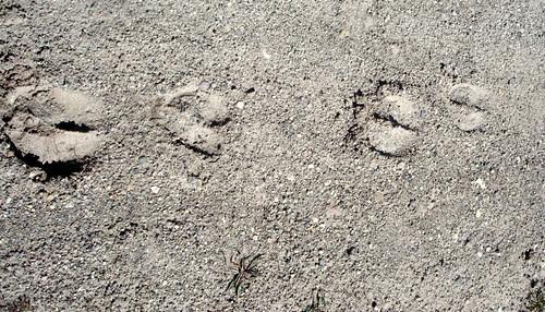bighorn sheep tracks yellowstone