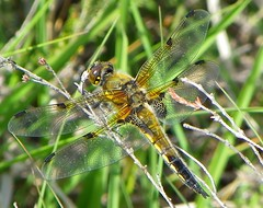 four spotted chaser (fiona.edwards) Tags: west four wings legs insects bugs heath end spotted chaser brentmoor