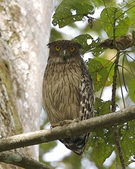 Brown fish owl (Ketupa zeylonensis) (Lip Kee) Tags: bird nature wildlife aves brownfishowl ketupazeylonensis