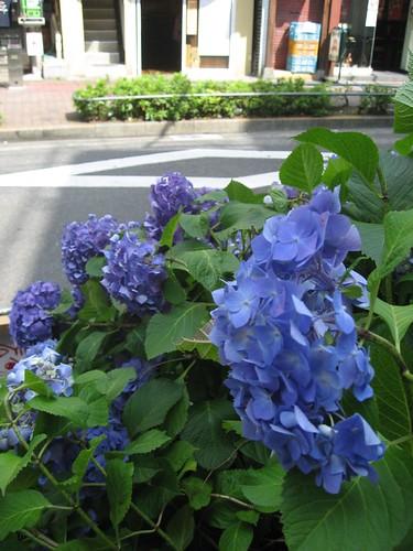 紫陽花滿開季節