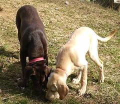 Yes, we share... (GirlzAreWeird) Tags: chocolatelabrador yellowlabradorlabradorpuppy