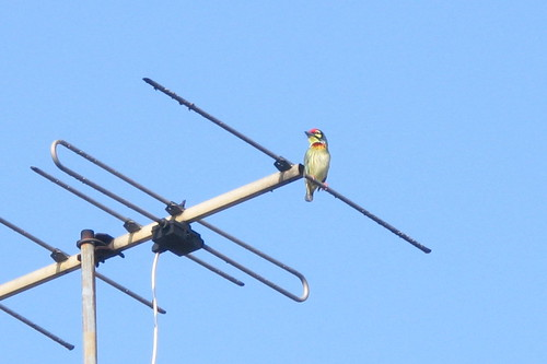 Coppersmith Barbet in Bangkok