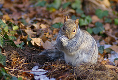 Fat Squirrel! 2