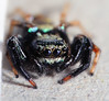 Jumping Spider Portrait DSC_4059