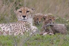 Cheetah and Cubs (rpgold) Tags: 20d animals canon southafrica eos gold wildlife canon20d ngc canoneos20d safari cheetah wildanimals phinda specanimal flickrdiamond rachellepaul rpgold flickrbigcats flickrunitedaward favoritenw10 mygearandme peregrino27life