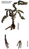 Spheniscus urbinai