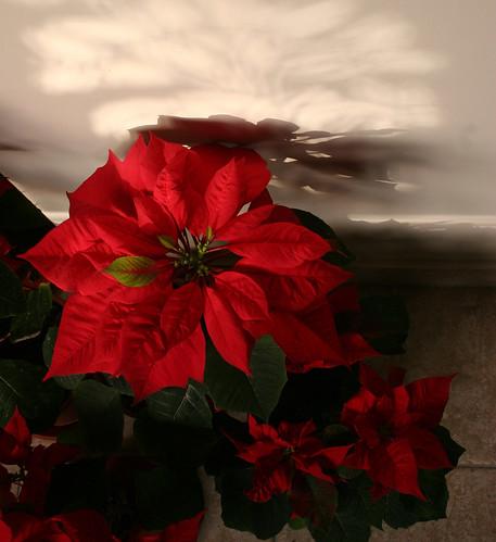 Poinsettias - light and shadows