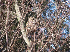 Just waking up barred owl yard 012008
