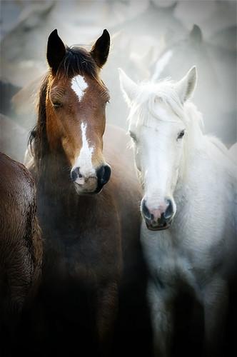 gathering mares 255