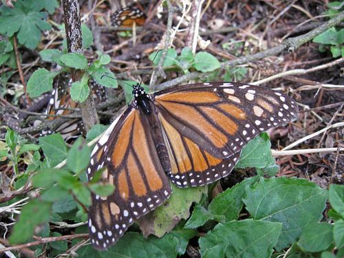 monarcas-4