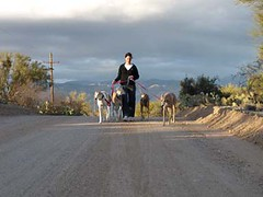 Walking The Dogs (Greyt Escape & Chella Bella Designs) Tags: walking desert cammy greyhounds sighthounds