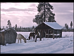 Winter Day (*janh*) Tags: winter horses sunlight snow day afternoon meadow oldcabin mywinners photofaceoffwinner pfogold