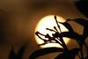 sun god (recaptured) Tags: sunset sun black silhouette yellow leaf interestingness interesting nikon bokeh tele nikkor damncool contrajour recaptured 55200mm magicdonkey explored teletom d40x lunarvillage bokehwhores amitsharma goldenheartaward recapturedin