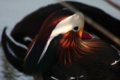 Intimit (Lorenzo Angelini) Tags: bird animal colore goose mandarina animale uccello birdwatcher anatra piume betterthangood itsazoooutthere