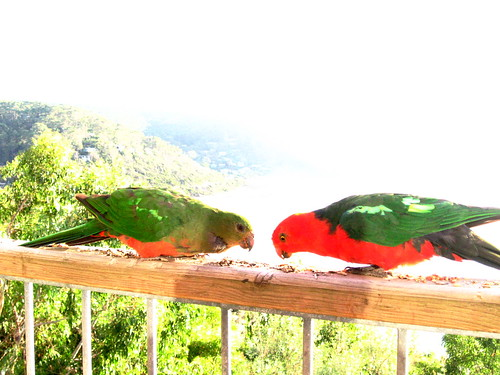King Parrots at Wye River
