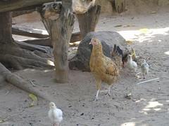 0017 Free-Range Chickens!