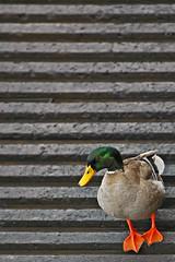 How Does A Duck Know... (Bill Adams) Tags: hawaii duck explore bigisland boatramp crashtestdummies youtube honokohau canonef70200mmf28lisusm honokohauharbor howdoesaduckknow youtubr