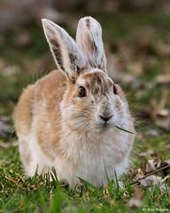 Snowshoe Hare / Lièvre d´Amérique
