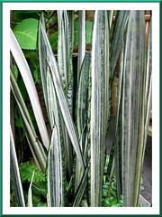 Sansevieria trifasciata 'Bantel's Sensation' (White Sansevieria)
