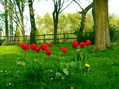 Rouge vert jaune (declicjardin) Tags: flowers red wild green nature yellow fleurs jaune garden rouge jardin vert tulip tulipe mywinners mywinner declicjardin  betterthangood